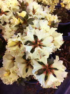 Image Rhododendron 'Cream Crest'