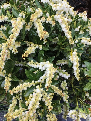 Image Pieris japonica 'Cavatine'