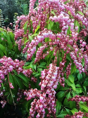 Image Pieris japonica 'Valley Rose'