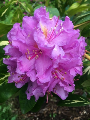 Image Rhododendron 'Goldflimmer'