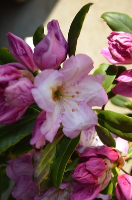 Image Rhododendron 'Lavender Princess'