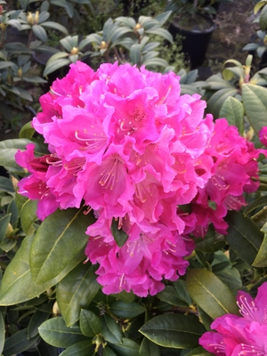 Image Rhododendron 'Holden'