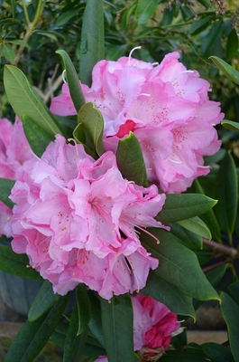 Image Rhododendron 'Peppermint Twist'
