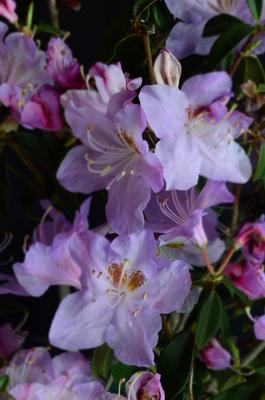 Image Rhododendron 'Star Trek'