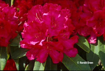Image Rhododendron 'Trilby'