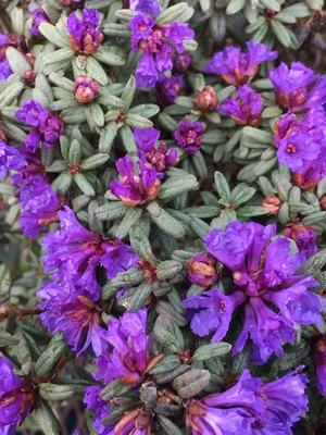 Image Rhododendron 'Edgarianum'