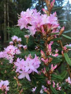 Image Rhododendron racemosum (Tall form)