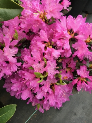 Image Rhododendron 'Checkmate'