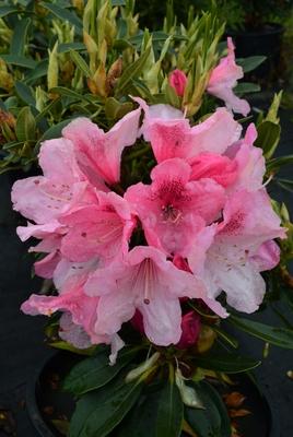 Image Rhododendron 'Horizon Garnet'
