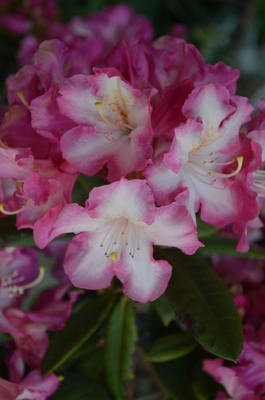 Image Rhododendron 'Persuasion'