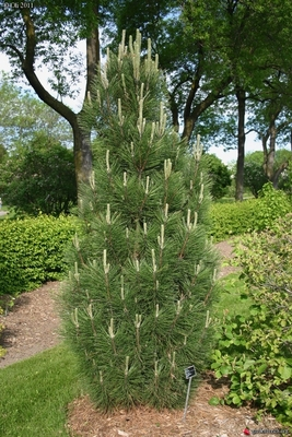 Image Pinus nigra 'Arnold's Sentinal'
