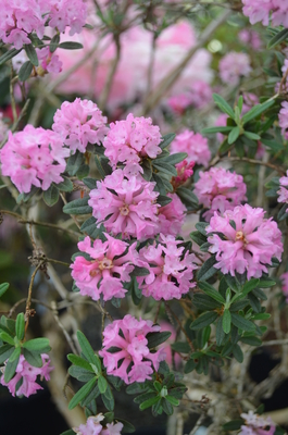 Image Rhododendron trichostomum 'Rae Berry'