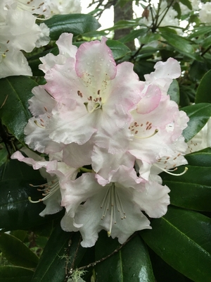 Image Rhododendron 'Beauty of Littleworth'
