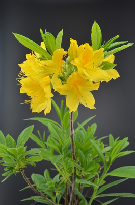 Image Rhododendron luteum