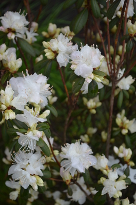 Image Rhododendron 'Hudson Bay'