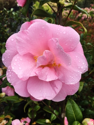 Image Camellia japonica 'Pink Icicle'