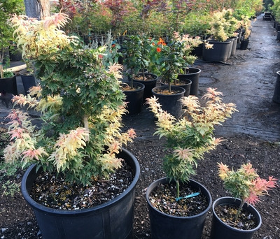Image Acer palmatum 'Yuki yama'