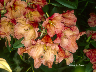 Image Rhododendron 'Apricot Nector'