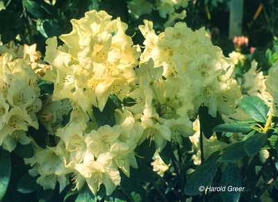 Image Rhododendron 'Butterfly'