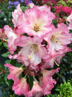 Image Rhododendron 'Camel Rock'