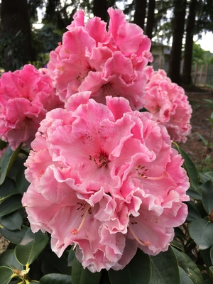 Image Rhododendron 'Cranberry Lace'