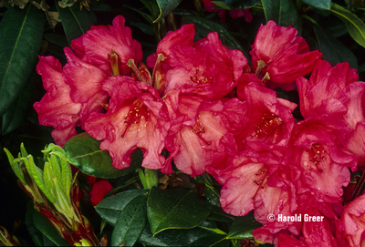 Image Rhododendron 'Elby'