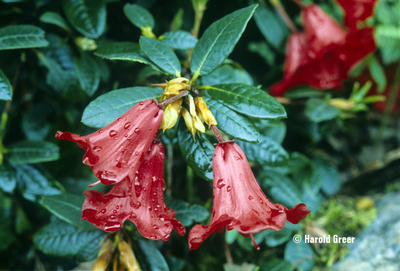 Image Rhododendron 'Ethel'