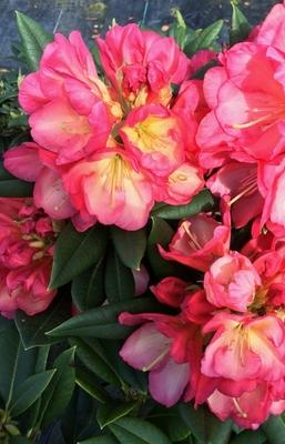 Image Rhododendron 'Sandra Ann Stipe'