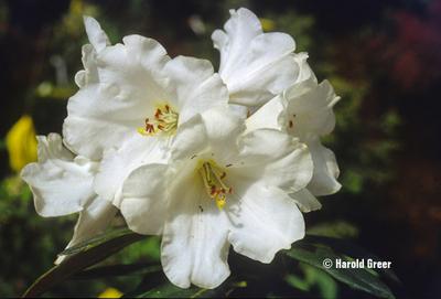 Image Rhododendron 'Senator Jackson'