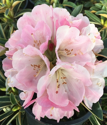 Image Rhododendron 'Strawberry Sorbet'
