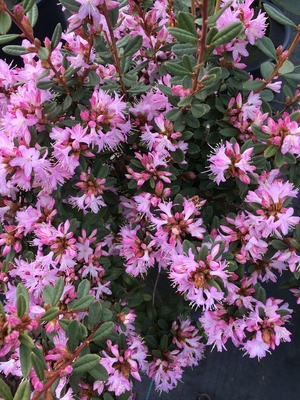Image Rhododendron racemosum