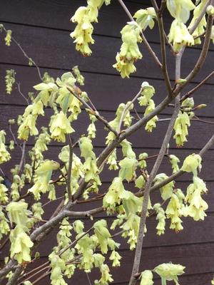 Image Corylopsis spicata
