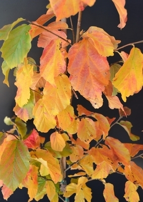 Parrotia persica 'Golden Belltower'