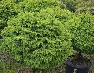 Image Picea abies 'Little Gem'