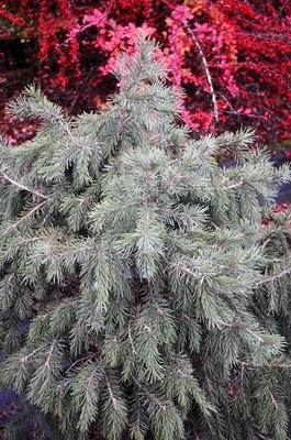 Picea breweriana 'Wustemeyer'