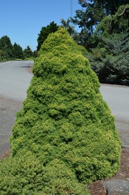 Image Picea glauca 'Rainbow's End'