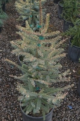 Picea mariana 'Aureovariegata'