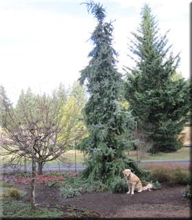 Picea omorika 'Pendula'