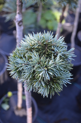 Image Picea pungens 'Everett'