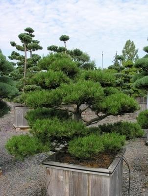 Pinus contorta 'Spaan's Dwarf'