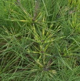 Pinus densiflora 'Cesarini's Variegated'