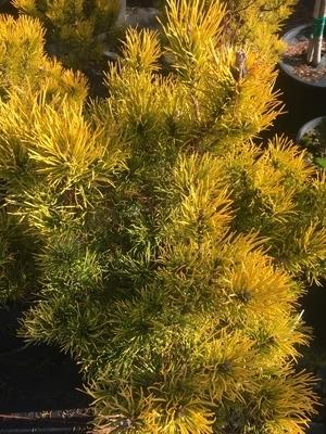 Pinus mugo 'Carstens'