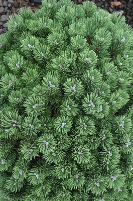 Image Pinus mugo 'Sherwood Compact'