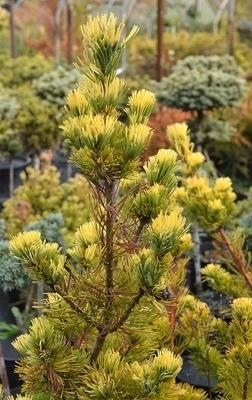 Pinus parviflora 'Dr. Landis'