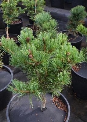 Pinus parviflora 'Fukuzumi'