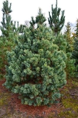 Pinus parviflora 'Gimborn's Ideal'