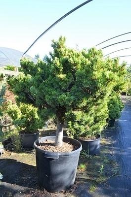 Pinus parviflora 'Hagoromo'