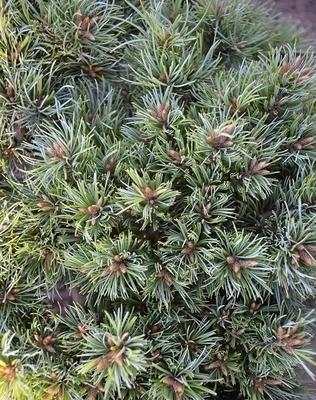 Pinus parviflora 'Kimpo'