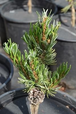 Pinus parviflora 'Koru'