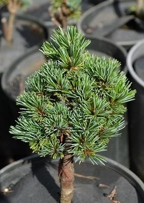 Image Pinus parviflora 'Regenhold'